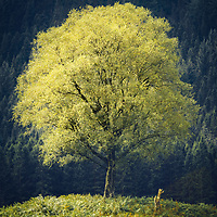 A re-visit to Loch Chon in the summer. I had photographed this tree a few years before, in winter, when the little birch stump (to the lower right) was still a fully formed tree. I wanted to see how the main birch stood with full foliageand hung around for the patches of light sweeping lazily across the Trossachs to illuminate the leaves. When the light finally bathed the branches it revealed a golden yellow glow that hinted at the ever nearing autumn.