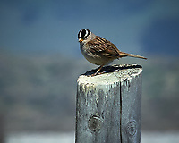 White-crowned Sparrow. Point Arena, Pacific Coast Highway. Image taken with a Nikon D3 camera and 80-400 mm VR lens.
