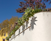 Succulent cactus plants growing over whitewashed wall of public park garden, Tavira, Algarve, Portugal, southern Europe
