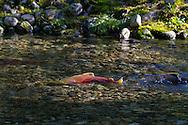 Sockeye Salmon (Oncorhynchus nerka) swimming upstream to spawn in the Weaver Creek Spawning Channel near Agassiz, British Columbia, Canada.