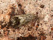 Close-up of a Codling moth (Cydia pomonella) resting camouflaged on tree bark in a Norfolk garden in summer.