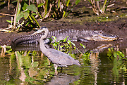 Typical Everglades Scene Alligator and Great Blue Heron in glade in  The Everglades Florida, USA