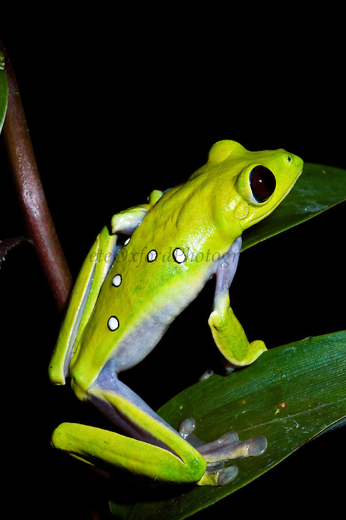 Gliding Treefrog (Agalychnis spurrelli) CAPTIVE<br /> Chocó Region of NW ECUADOR. South America