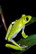 Gliding Treefrog (Agalychnis spurrelli) CAPTIVE<br /> Chocó Region of NW ECUADOR. South America