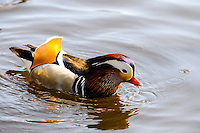 Norway, Stavanger. Mandarin Duck in Mosvannet lake.