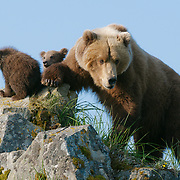 Brown Bear mother and cubs in Alaska.