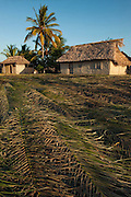 Palm leaves for thatch<br /> Macushi people<br /> Yupukari village<br /> Savannah, Rupununi<br /> GUYANA<br /> South America
