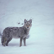 Coyote, (Canis latrans) brushed with soft snow fall, pauses in Snowy timer. Late spring snow fall. Yellowstone National Park.