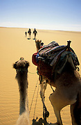 Egyptian Western desert, Bedouin guide leads a camel caravan on a trek along the Dharb el Dakhla track from Farafra Oasis to Dakhla Oasis through the dunes of the sand sea.  Seen from riding the camel.