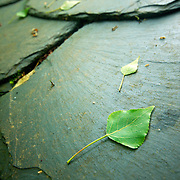 Small leaf over the tile of a slate roof of an abandoned house at El Bierzo region