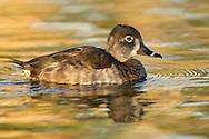 Ring-necked Duck -  Aythya collaris