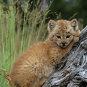 Canada Lynx, (Lynx canadensis) Montana. Kitten exploring area near den.  Summer.  Captive Animal.