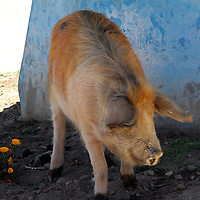 South America, Bolivia, Copacabana. A pig waits in the shade on the shores of Lake Titicaca.