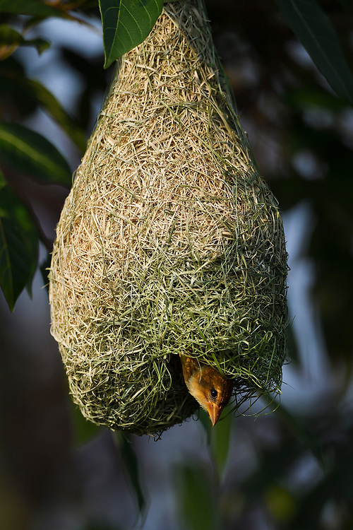 Black-breasted weaver, Ploceus benghalensis, Tongbiguan nature reserve, sitting on its nest in Dehong prefecture, Yunnan province, China