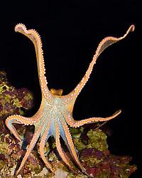 day octopus, Octopus cyanea, stretching tentacles, Hawaii, Pacific Ocean (c)