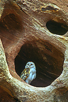 Barn Owl (Tyto alba) in a small opening in a sandstone cliff.