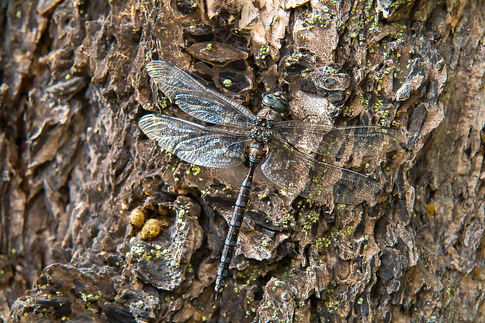 This large dark and beautiful dragonfly flecked in blue with an unusual flattened tail is common in western North America where it hunts for mosquitoes and other flying prey over shady ponds and wetlands. This one was spotted resting on a tree in a forest near Chatcolet Lake in Northern Idaho.