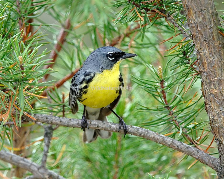 A male Kirtland's Warbler in Jack Pine, Oscoda Co. (Michigan)