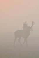 Père David's deer, or Milu, Elaphurus davidianus, Stag walking on grass on a misty morning at  Hubei Tian'ezhou Milu National Nature Reserve, Shishou, Hubei, China. The dominant harem-keeping stag in the herd.