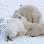 Polar bear (Ursus maritimus) mother and cubs resting in the willows. The cub seeks warmth by climbing on the mother's back. Cape Churchill, Hudson Bay, Canada