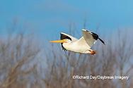 00671-01017 American White Pelican (Pelecanus erythrorhynchos) in flight Clinton Co.  IL