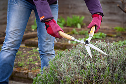 Lightly trimming lavender with hand shears in late spring