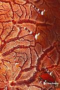 squat anemone shrimp, Thor sp., on red encrusting sponge, Monanchora barbadensis, Saint Vincent or St. Vincent, West Indies ( Eastern Caribbean Sea )