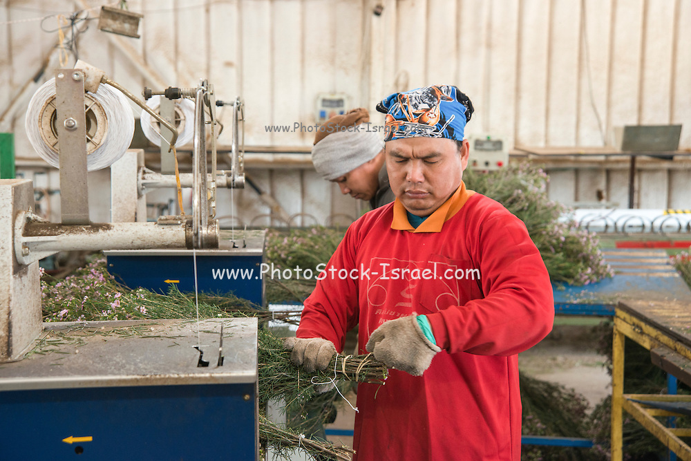 Flower export. Thai migrant works pack the flowers for shipping Photographed in israel