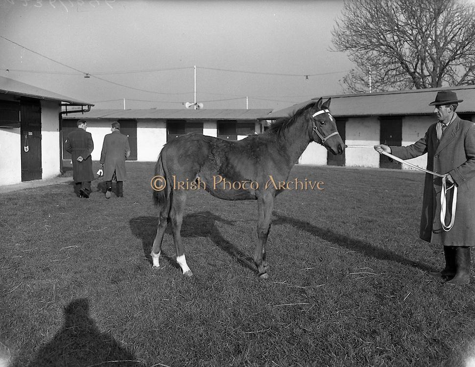 17/11/1959<br /> 11/17/1959<br /> 17 November 1959<br /> Goffs November Bloodstock Sales at Ballsbridge, Dublin. Horse on display at the sales.