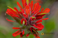 Red Indian Paintbrush in the Stillwater State Forest near Whitefish, Montana, USA
