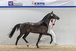381, Nebrasko Bo<br /> KWPN Hengstenkeuring 2021<br /> © Hippo Foto - Dirk Caremans<br />  04/02/2021