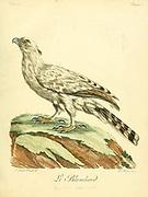 Blanchard Bird of Prey from the Book Histoire naturelle des oiseaux d'Afrique [Natural History of birds of Africa] by Le Vaillant, François, 1753-1824; Publish in Paris by Chez J.J. Fuchs, libraire .1799