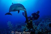 Spot, a wild, lone, sociable bottlenose dolphin, Tursiops truncatus, and pal Jason Belport explore the reef, Cayman Brac ( Caribbean Sea ) MR 281