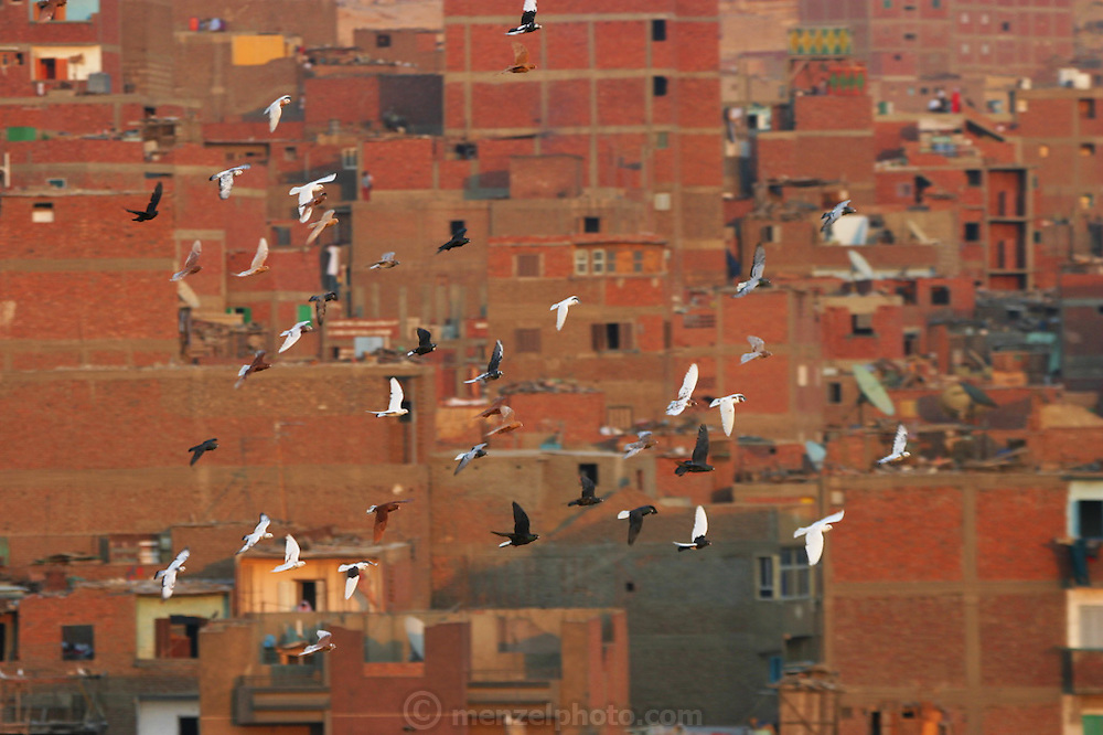 Pigeons flying at sunset over Cairo, Egypt. Many residents raise pigeons on their rooftops and let them out to fly at sunset.
