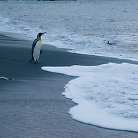 King Penguins head into the Atlantic from a beach at Gold Harbor, South Georgia, Antarctica.