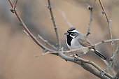 Emberzine Sparrows and Their Allies