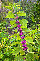 American beautyberry is a very common and beautiful shrub in the verbena family found all over the Southeastern United States. It has been used extensively for making medicine, tea, wine, dye, fish poison and the crushed berries can be used to relieve mosquito bites. It has also been known to be a great repellant of flies and fire ants. This super-hardy plant can tolerate drought, heat, floods and can be found growing in many different environments, and is an important food source for wildlife.