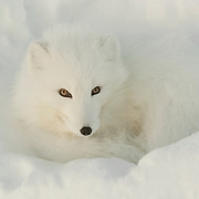 Arctic Fox along the ice edge of Hudson Bay, Cape Churchill, Manitoba, Canada.