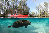 Florida manatee, Trichechus manatus latirostris, a subspecies of the West Indian manatee, endangered. January 27, 2012, a series of the documented adoption of a small female orphan manatee calf. Adoptive mother's older well fed female calf entertains herself in the springs while the mother is away with the little orphan.  Manatee Rescue volunteer in a red kayak documents the adoptive mother's older calf with a camera. Fish, bream, Lepomis spp., are present. Horizontal orientation split image with clear water and rainbow light rays. Three Sisters Springs, Crystal River National Wildlife Refuge, Kings Bay, Crystal River, Citrus County, Florida USA.