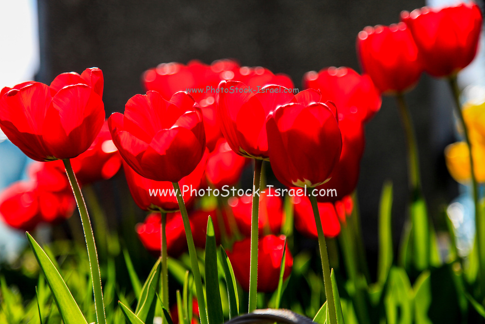 Blooming back lit red tulip flowers close up