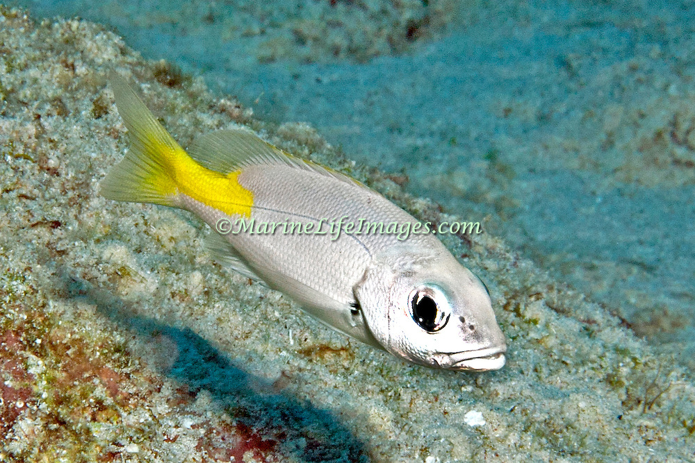 Blackfin Snapper, juvenile, inhabit areas of sand, rubble and rocky outcroppings near reefs from 20-60 feet in Tropical West Atlantic; picture taken Little Cayman.
