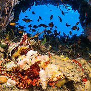 A tasseled scorpionfish (Scorpaenopsis oxycephala) waits for prey in a small coral cave off Alor, Indonesia.