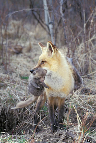 Red Fox, (Vulpus fulva) Adult with pups. Rocky mountains. Montana. Captive Animal.