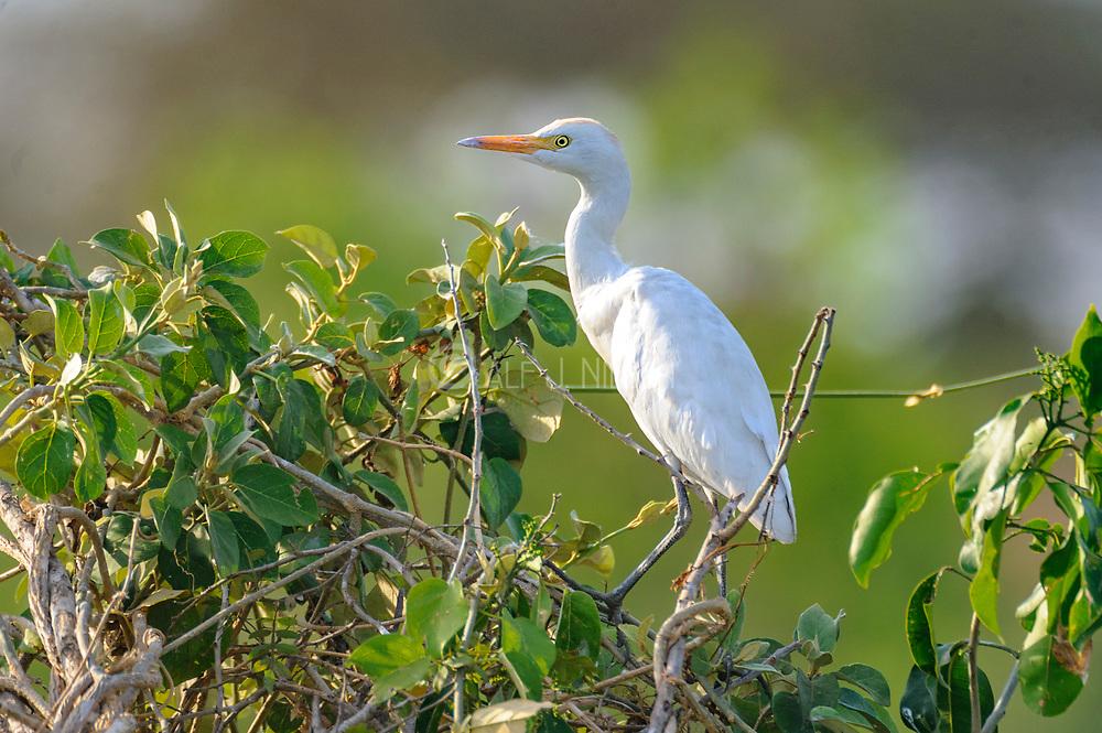 Intermediate egret (Ardea intermedia) from Murchison Falls, Uganda.