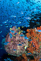 Invasion of the Triggerfish<br /> <br /> Thousands of Red-toothed Triggerfish school tightly over a colorful reef, presumably aggregating to spawn.<br /> <br /> Image 2/4<br /> <br /> Shot in Indonesia