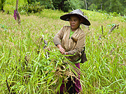 A Hmong woman harvesting 'khao kam' (brown sticky rice) in the village of Ban Chalern, Phongsaly province, Lao PDR. Slash and burn cultivation or 'hai' in Lao PDR consists of cutting the natural vegetation, leaving it to dry and then burning it for temporary cropping of the land, the ash acting as a natural fertiliser. Shifting cultivation practices, although remarkably sustainable and adapted to their environment in the past, have come under increasing stress in recent decades and are now starting to be a major problem in Lao PDR, causing widespread deforestation and watershed degradation. The remote and roadless village of Ban Chalern is situated along  Nam Ou river and will be relocated due to the construction of the Nam Ou Cascade Hydropower Project Dam 7.