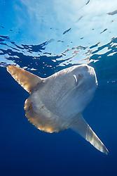ocean sunfish, Mola mola, with parasitic copepods, Pennella filosa, off San Diego, California, East Paficic Ocean