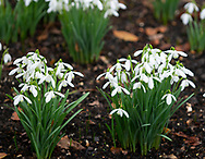 Galanthus nivalis, snowdrops blooming in February in the garden at Chiswick House, Chiswick, London, UK