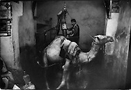 Camel-powered oil press, Sana'a, Yemen.  In most Middle Eastern countries camel-powered press have long been replaced by machine presses.  In Sana'a alone, there are several of these presses.
