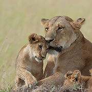 A female lion with her cubs. Kenya, Africa